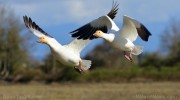 Snow-Geese-In-Flight